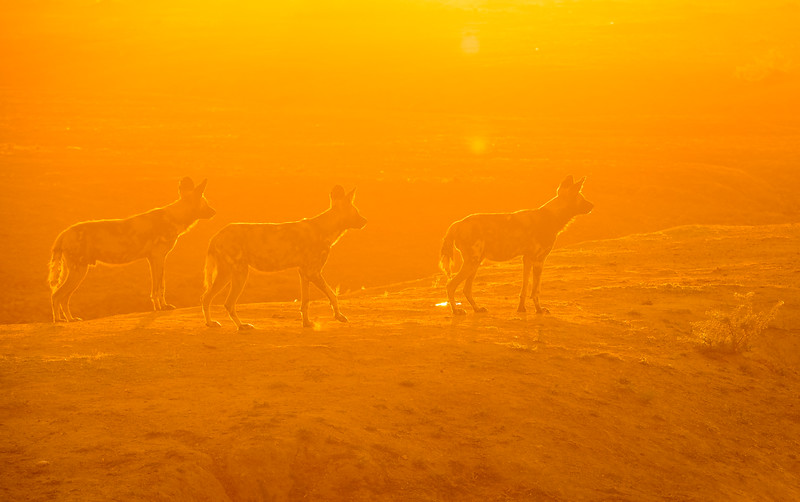 Members of a pack of African Wild Dog at sunrise. Erindi.