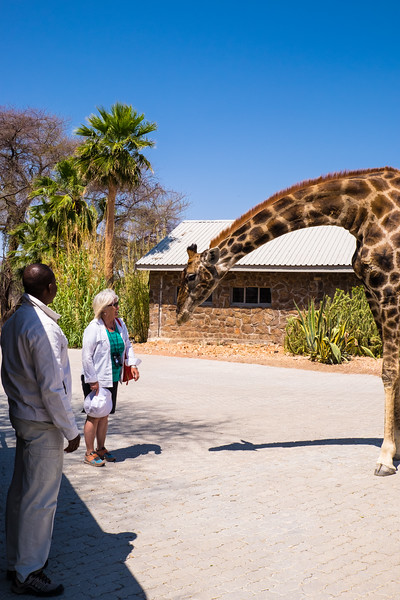 Oscar the giraffe welcomes Mary to Epako Game Lodge