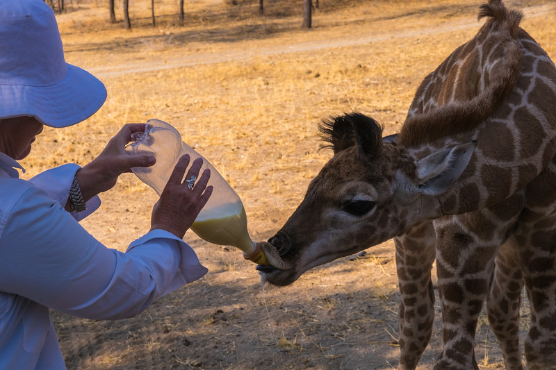 Mary bottle feeding a baby giraffe