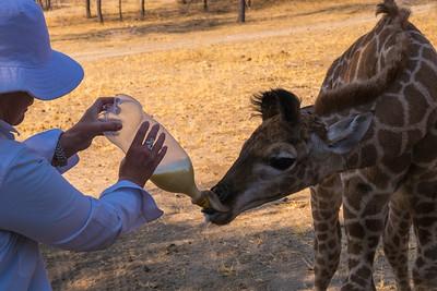 Mary bottle feeding a baby giraffe