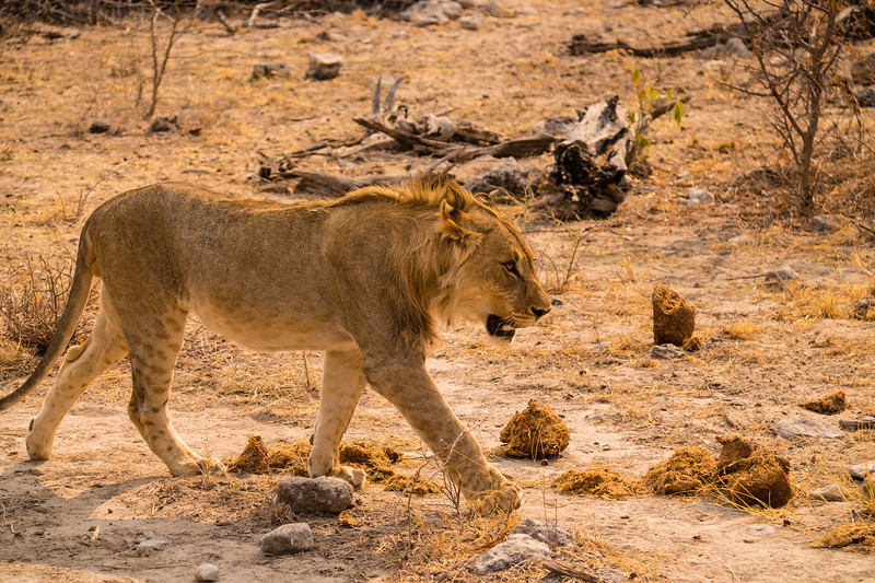 Young male lion striding through elephant poo