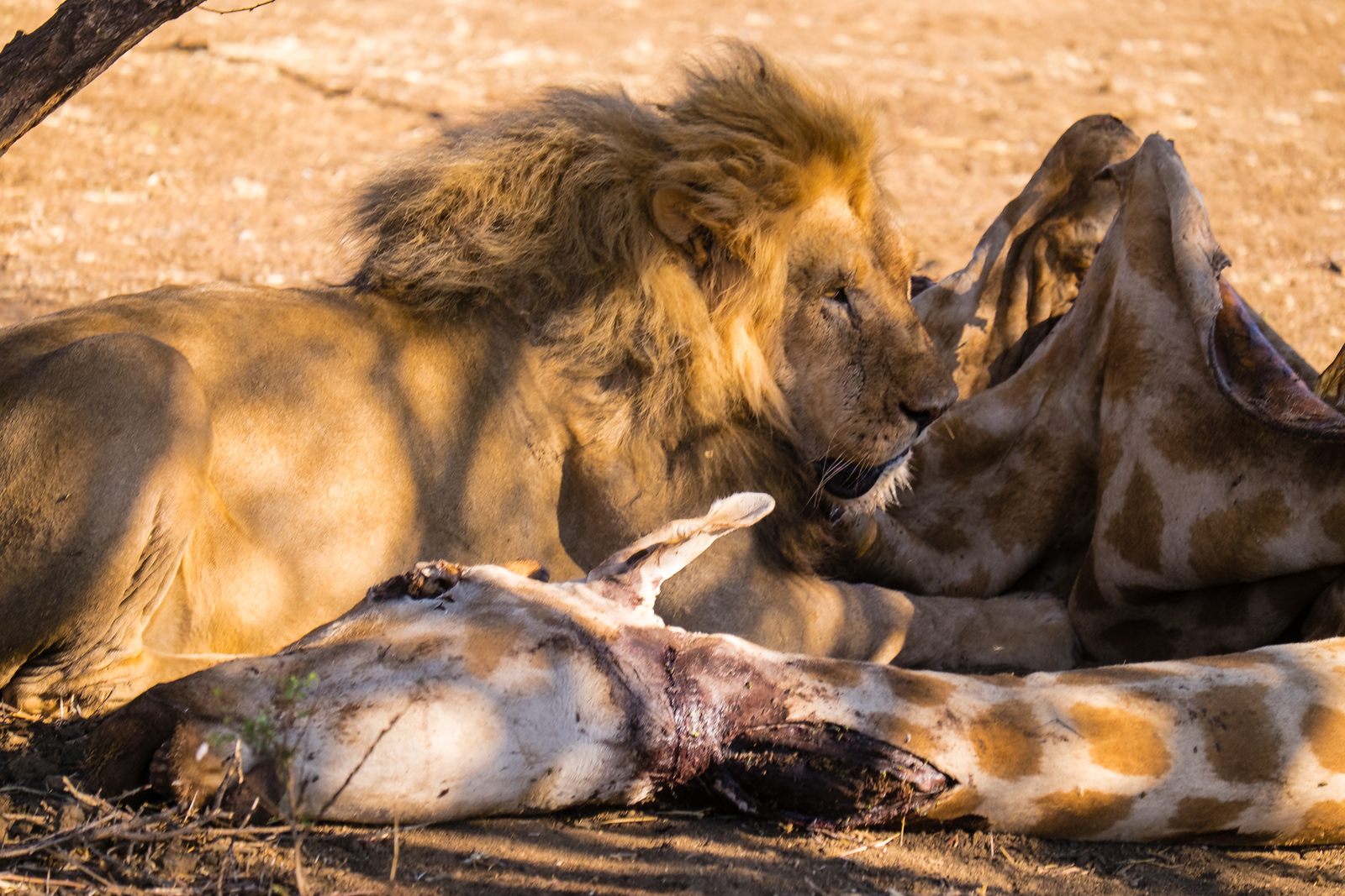 Lion eating a giraffe the pride has killed