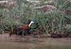 Zambezi Canoe Trip -  African Jicama