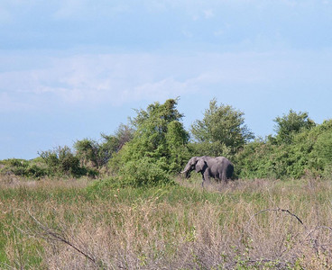 Elelphant seen on a walk in the Okavanga Delta