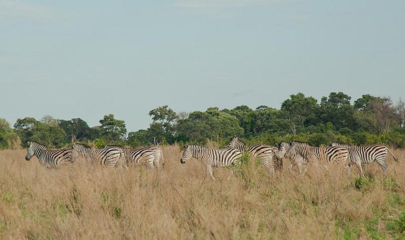 Zebra seen on a walk in the Okavanga Delta