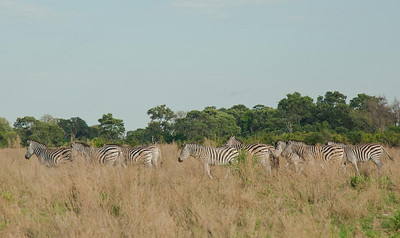 Zebra seen on a walk in the Okavanga Delta
