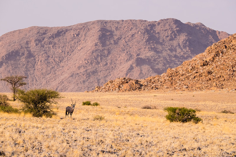 Lone Oryx in the Namib Desert