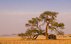 Lonely Tree in the Namib Desert