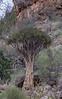 Quiver Tree, Naukluft
