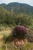 Giant Lobelia