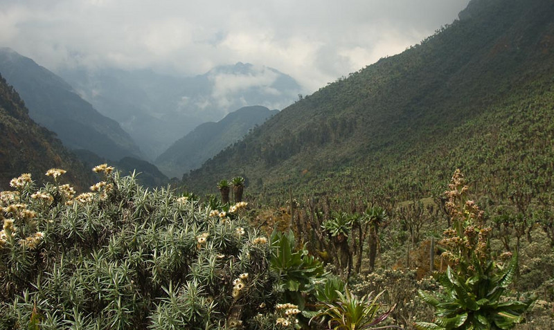 Helichrysum in the forground looking down the Bujuku valley