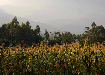 Maize in a time of drought