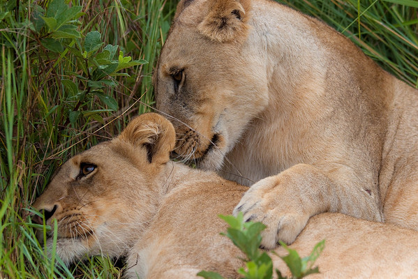 Lionesses in Zambia, Africa.