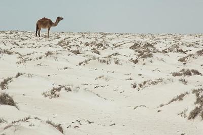 White Sand Camel: Qahal, Oman