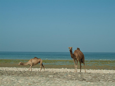 Mother and calf on the beach; Sur, Oman