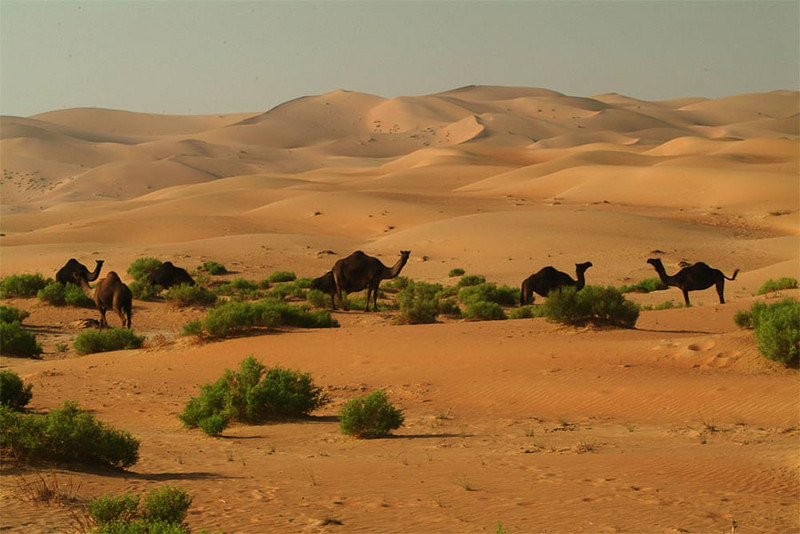 Rich grazing for a camel