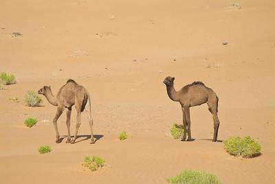 Camel Calves