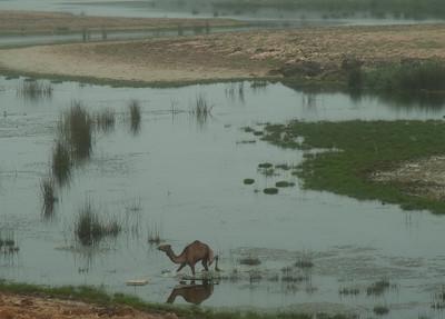 Marsh Camels; Salalah