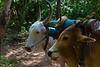 Bullocks in harness