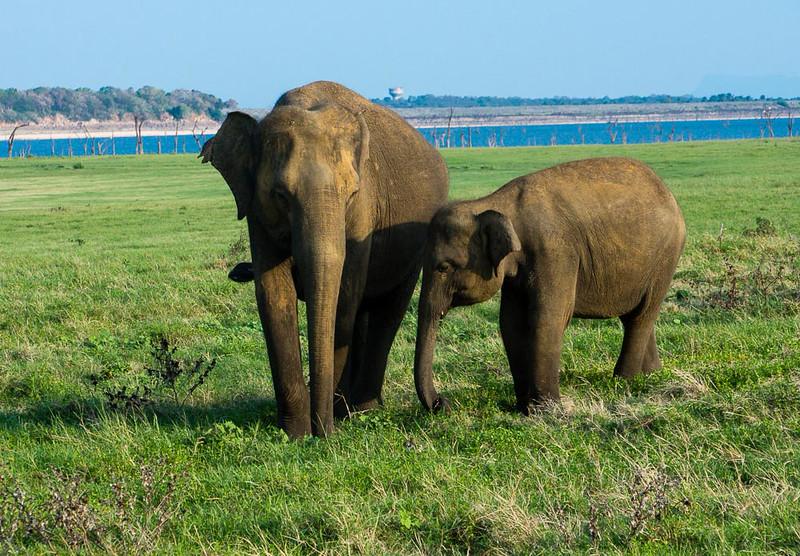 Mother and calf at Kaudulla National Park