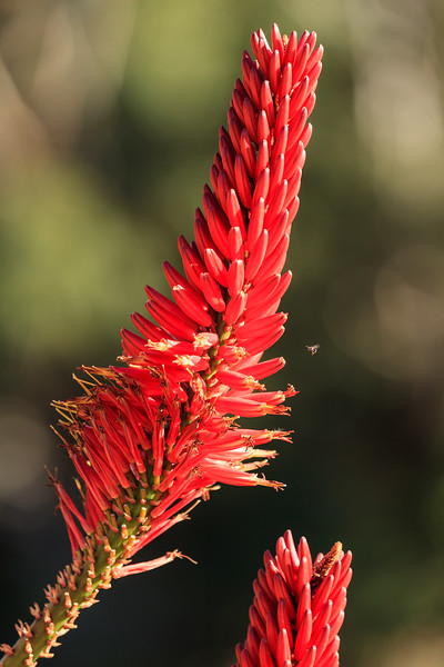 Bokeh of an Australian local red flower with a bee flying around it.