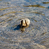 A cute Pacific duckling is enjoying playing in the water with creating waves around her in a park.