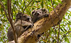 Koala and joey (baby koala)high in eucalyptus trees