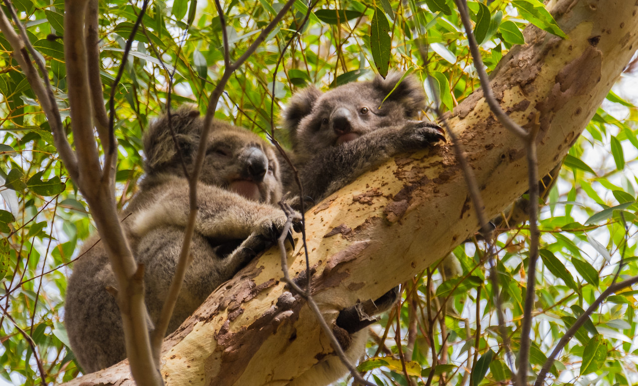 Koala and joey (baby koala)high in eucalyptus trees