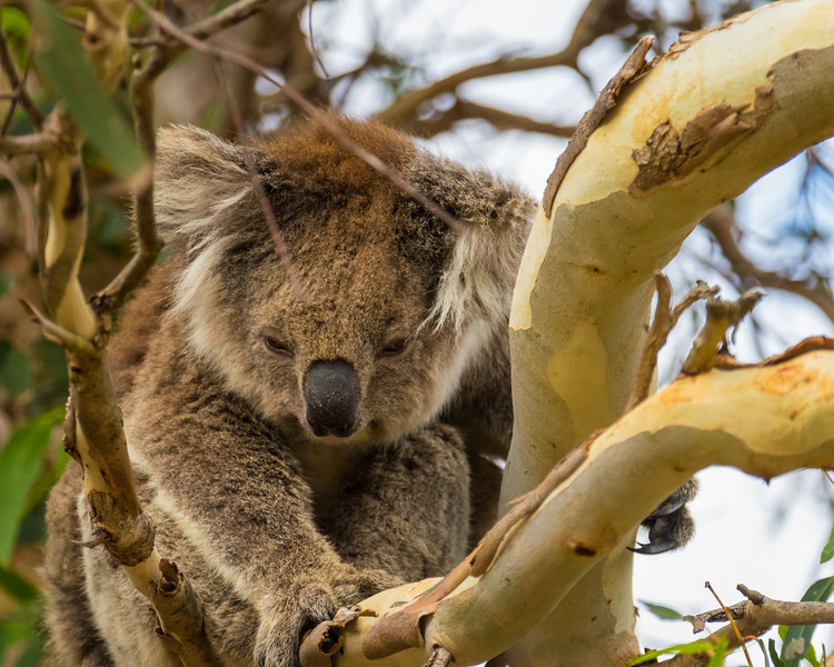 Koala (1 of 4).jpg