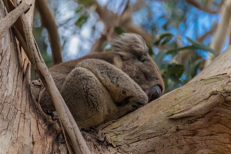 Koala (2 of 4).jpg