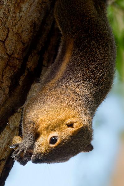 Squirrel at Nosa Dua