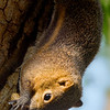 Squirrel at Nosa Dua