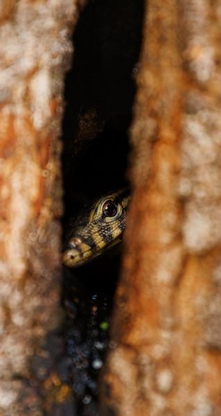 Snake at Nosa Dua