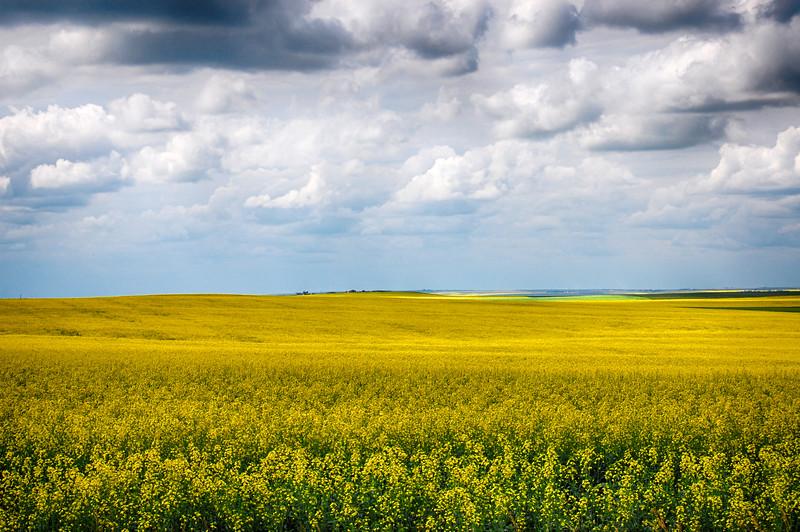 Canola field in Alberta, Canada
