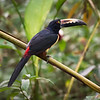 Collared Aracari at Frogs Heaven