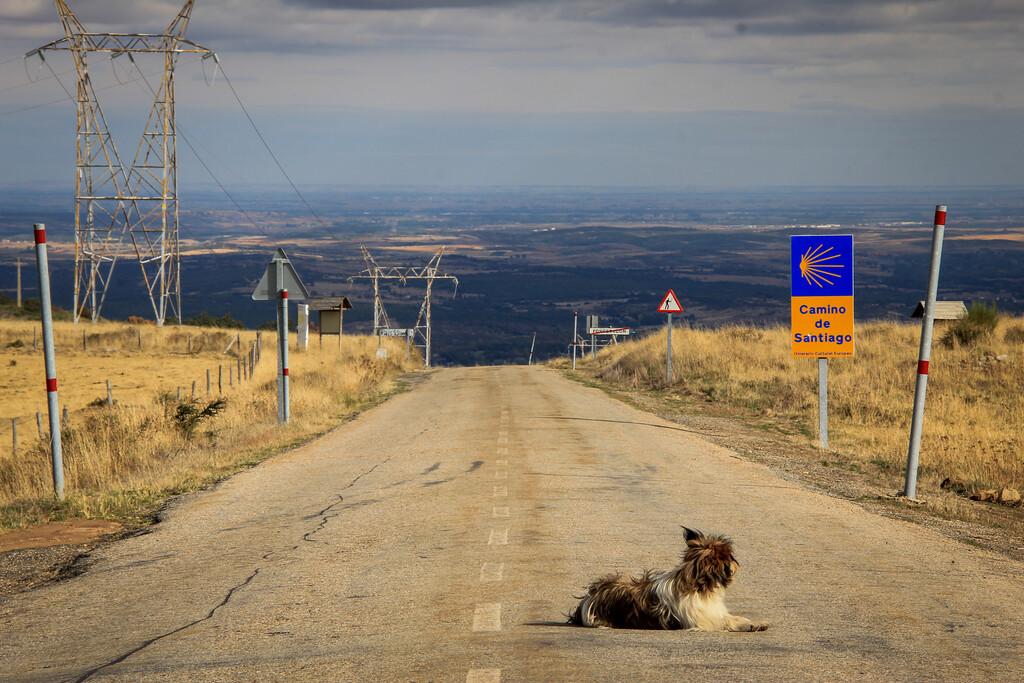 Camino Dog