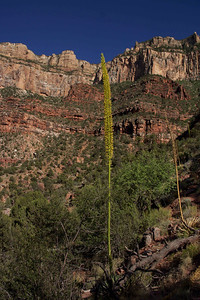 Flowering Agave near 3 Mile Shelter, 2000 feet below the canyon rim