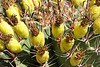 Fish hook cactus fruiting