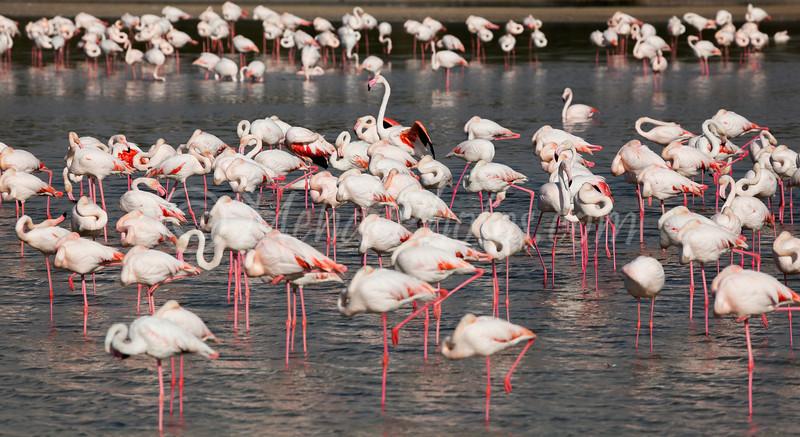 Ras Al Khor Wildlife Sanctuary Ramsar Site, Flamingos