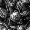 Macro shot of dried roses as captured in Dubai's Spice Souq in black and white.