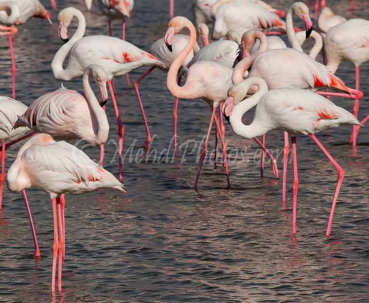 Ras Al Khor Wildlife Sanctuary Ramsar Site, Flamingos