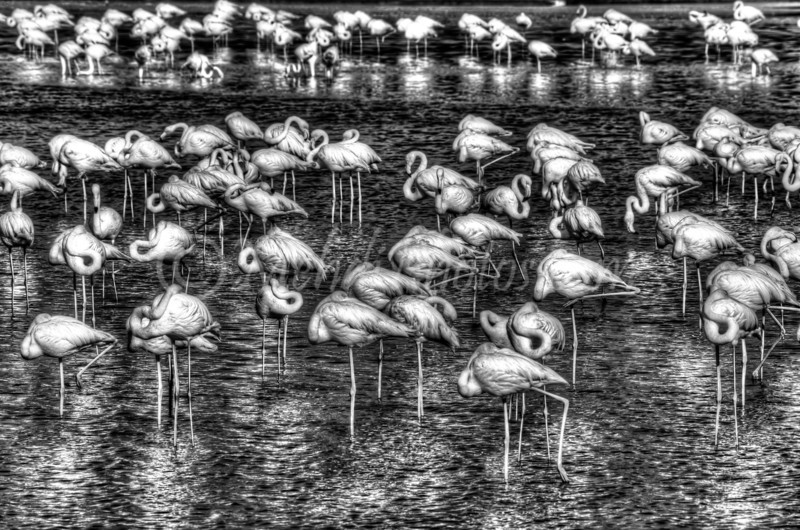 Ras Al Khor Wildlife Sanctuary Ramsar Site, Flamingos, B&W HDR.