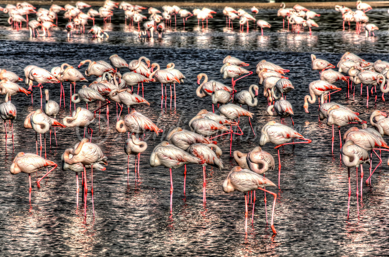 Ras Al Khor Wildlife Sanctuary Ramsar Site, Flamingos. HDR
