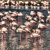 Ras Al Khor Wildlife Sanctuary Ramsar Site, Flamingos. HDR