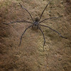 7 legged spider