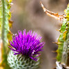 the Thistles Origin as a symbol of Scotland<br /> According to a legend, an invading Norse army was attempting to sneak up at night upon a Scottish army's encampment. During this operation one barefoot Norseman had the misfortune to step upon a thistle, causing him to cry out in pain, thus alerting Scots to the presence of the Norse invaders. Some sources suggest the specific occasion was the Battle of Largs, which marked the beginning of the departure of King Haakon IV (Haakon the Elder) of Norway who, having control of the Northern Isles and Hebrides, had harried the coast of the Kingdom of Scotland for some years. Which species of thistle is referred to in the original legend is disputed. Popular modern usage favours Cotton Thistle Onopordum acanthium, perhaps because of its more imposing appearance, though it is unlikely to have occurred in Scotland in mediaeval times; the Spear Thistle Cirsium vulgare, an abundant native species in Scotland, is a more likely candidate. Other species, including Dwarf Thistle Cirsium acaule, Musk Thistle Carduus nutans, and Melancholy Thistle Cirsium heterophyllum have also been suggested.