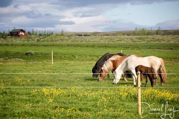 Icelandic Horses (3 of 3)