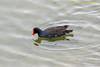 Izabella Isl. - Common Gallinule