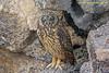 Genovesa Isl. - Short-eared Owl