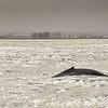 Humpback Whale, Reykjavik, Iceland in background